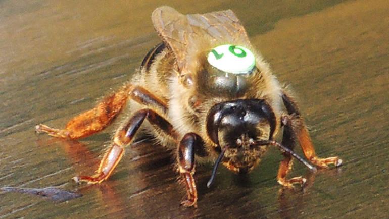 Bee Characteristics