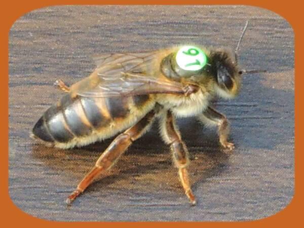 August Queen Bee Carnica Cimala