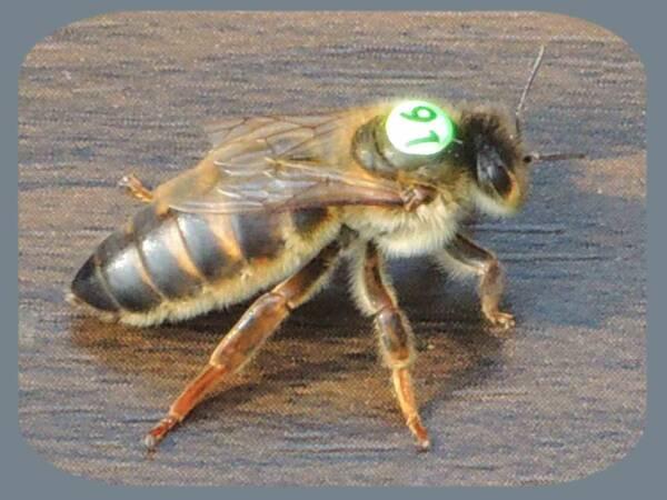 June Queen Bee Carnica Cimala