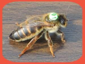 Overwintering Queen Bee Carnica Cimala