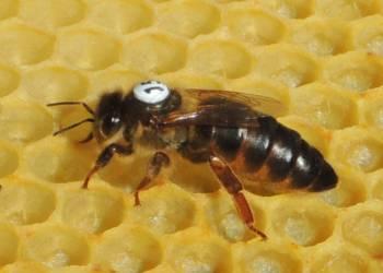 Carnica Cimala carniolan queen bee 4