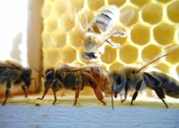 Carnica Cimala queen bee illustration 3