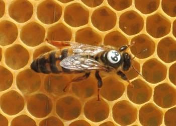 Carnica Cimala queen bee illustration 2