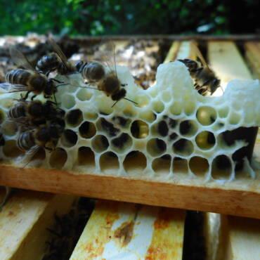 Sommerliche Produktion von Bienenköniginnen