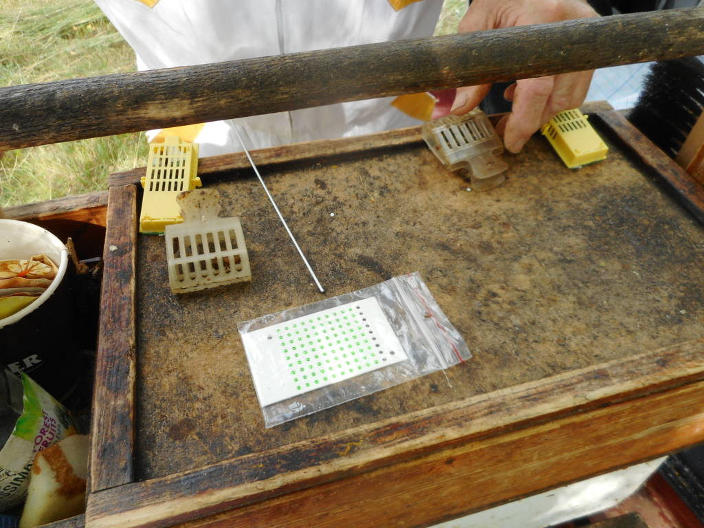 Preparing queen bee catcher and cages workspace for marking the queen.